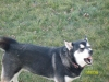 Siberian Husky, 9 but in dog years 49, Black & White